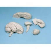 8-Part Soft Brain Model